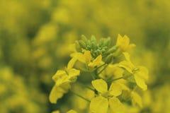 Sluit omhoog van gele mosterdbladeren in landbouwbedrijven royalty-vrije stock foto