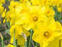 Sluit omhoog van gele gele narcissen Royalty-vrije Stock Afbeelding