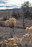 sluit omhoog van Gele Rabbitbrush stock afbeeldingen