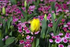 Sluit omhoog van gele tulpenbloem royalty-vrije stock afbeelding