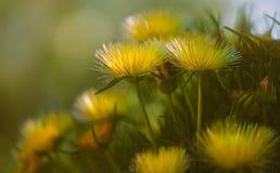 Sluit omhoog van gele wilde bloemen Hardy Ice Plant in Bloei royalty-vrije stock afbeeldingen