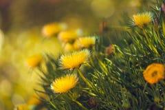 Sluit omhoog van gele wilde bloemen Hardy Ice Plant in Bloei stock foto's
