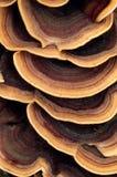 Sluit omhoog van geringde polyporepaddestoel Stock Foto's