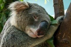 Sluit omhoog van geschoten Koalahoofd dat slaap stock afbeeldingen