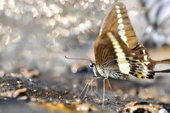 Sluit omhoog van Gestreepte Swallowtail-vlinder die mineralen eten royalty-vrije stock foto