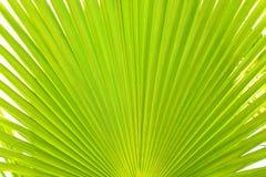 Sluit omhoog van gestript suikerpalmblad van kalk groene kleur met zichtbare textuurstructuur Anti-vervuilings concept stock afbeeldingen