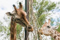 Sluit omhoog van giraffen het voeden stock foto