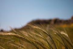 Sluit omhoog van Gouden die Tarwe door de Wind tijdens de Lente worden gebogen Royalty-vrije Stock Foto's