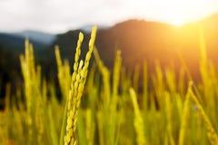 Sluit omhoog van gouden padie in het padieveld met ochtendlicht Stock Foto's