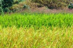 Sluit omhoog van gouden padieveld in padieveld met bergachtergrond Stock Fotografie