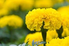 Sluit omhoog van goudsbloembloem Royalty-vrije Stock Afbeeldingen