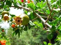 Sluit omhoog van granaatappels in verscheidene stadia van de groei Royalty-vrije Stock Afbeelding