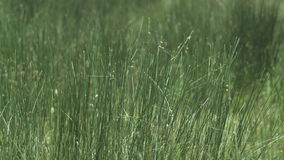 Sluit omhoog van gras stock video