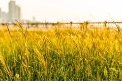 Sluit omhoog van grasbloem op zonsondergang met onduidelijk beeld van omheiningsachtergrond stock fotografie