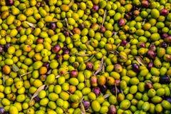 Sluit omhoog van Griekse olijven klaar om worden verwerkt om olijfolie te halen Royalty-vrije Stock Afbeelding