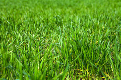Sluit omhoog van groen gras Stock Foto