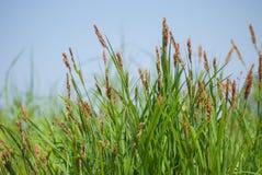Sluit omhoog van groen gras met bruine aren op achtergrond van de blauwe hemel royalty-vrije stock fotografie