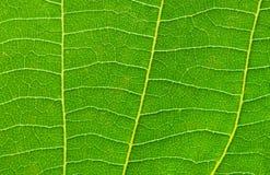 sluit omhoog van groen verlof Royalty-vrije Stock Fotografie