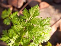 sluit omhoog van groene bladuiteinden op bosvloer Royalty-vrije Stock Afbeeldingen