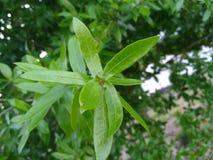 Sluit omhoog van groene levende eiken bladeren royalty-vrije stock fotografie