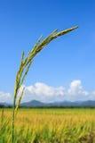 Sluit omhoog van groene padie Stock Foto's