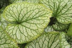 Sluit omhoog van groot groen perenial blad Royalty-vrije Stock Foto's