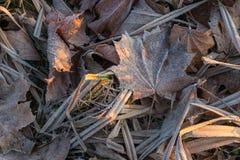 Sluit omhoog van het bevroren blad van de rijpesdoorn onder ijzig gras, blad stock afbeeldingen