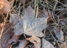 Sluit omhoog van het bevroren blad van de rijpesdoorn onder ijzig gras, blad royalty-vrije stock afbeeldingen