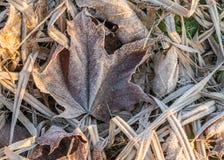 Sluit omhoog van het bevroren blad van de rijpesdoorn onder ijzig gras, blad royalty-vrije stock fotografie