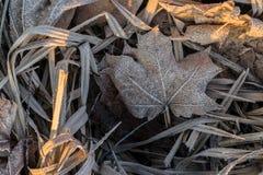 Sluit omhoog van het bevroren blad van de rijpesdoorn onder ijzig gras, blad royalty-vrije stock foto