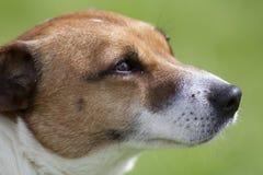 Sluit omhoog van het bruine en witte hoofd van terriërhonden Royalty-vrije Stock Fotografie