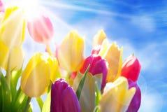 Sluit omhoog van het Effect van Sunny Tulip Flower Meadow Blue Sky en Bokeh- Royalty-vrije Stock Fotografie