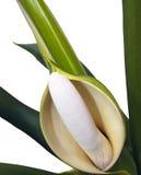 Sluit omhoog van het Fruit en de Bloem van Philodendron Selloum royalty-vrije stock foto's