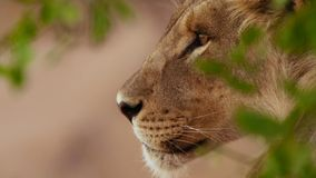 Sluit omhoog van het gezicht van de vrouwelijke leeuw in Afrikaanse bushveld, Namib-woestijn, Namibië stock foto's