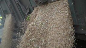 Sluit omhoog van het gieten van tarwe van de kippersvrachtwagen, langzame motie stock footage