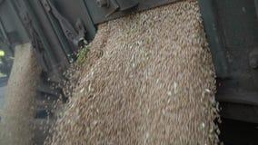Sluit omhoog van het gieten van tarwe, laat vallen de kippersvrachtwagen de gewassen stock videobeelden