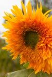 Sluit omhoog van het gouden Dahliabloem groeien in een huistuin royalty-vrije stock afbeelding
