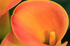 Sluit omhoog van het hart van een calla lelie Stock Afbeeldingen
