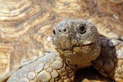 Sluit omhoog van het hoofd van een schildpad Stock Fotografie