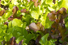 Sluit omhoog van het kweken van de bladeren van de babysalade Stock Foto
