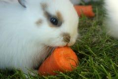 Sluit omhoog van het leuke witte konijntje knagen aan bij een stuk van wortel stock afbeelding