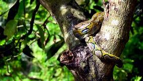 sluit omhoog van het onder ogen zien van Phyton-slangrust op de boom met gezoem in motie stock footage