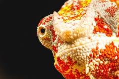 Sluit omhoog van het oog van een Panterkameleon (Furcifer-pardalis) Stock Afbeelding