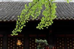 Sluit omhoog van het verlof van Ginko Biloba buiten tempel royalty-vrije stock foto's