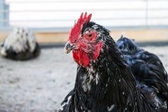 mooie grote zwarte hanen zelfgemaakte PornTube