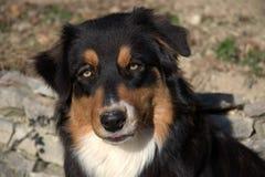 Sluit omhoog van Hond Aussie Royalty-vrije Stock Afbeeldingen