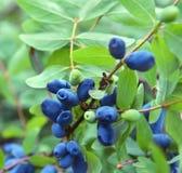 Sluit omhoog van honeyberry in tuin 2 Stock Afbeelding