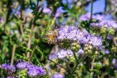 Sluit omhoog van honingbij bestuivend crenulatawildflowers van Phacelia Phacelia bloeiend in het Park van de de Woestijnstaat van royalty-vrije stock foto's