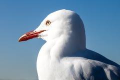 Sluit omhoog van Hoofd van Australische Zeemeeuw tegen Blauwe Hemel royalty-vrije stock foto's