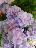 Sluit omhoog van Hydrangea hortensia Royalty-vrije Stock Fotografie